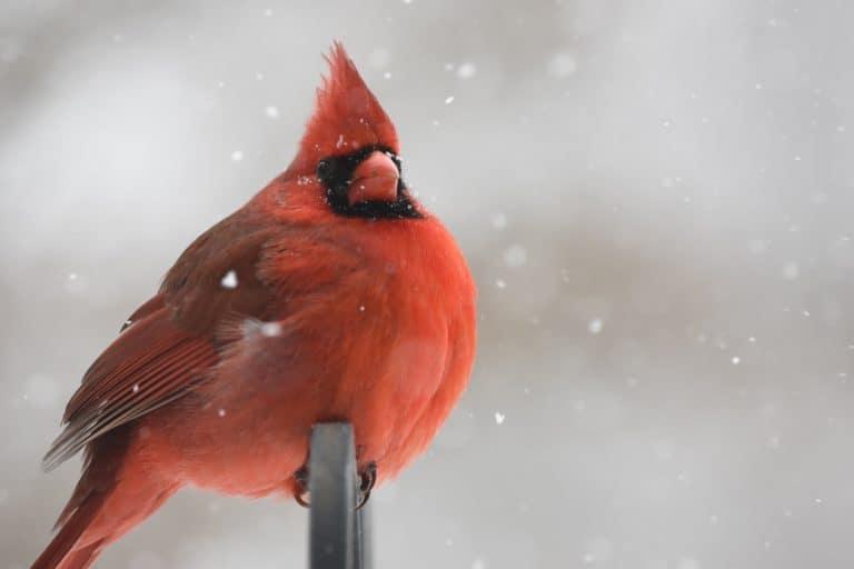 Northern Cardinal, North Carolina State Bird